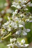 Blackberry flower. Royalty Free Stock Image