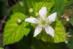 Blackberry Flower Royalty Free Stock Photo