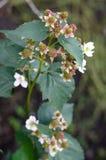 Blackberry Flower in a garden Royalty Free Stock Photos