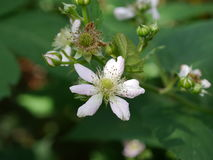 Blackberry flower and leaf Stock Image