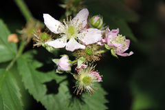 Blackberry flowers. Light pink blackberry flowers in different stages of growth Stock Image