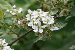Blackberry flowers on blurred background Royalty Free Stock Images