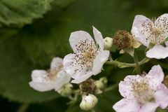 Blackberry Flowers Royalty Free Stock Photo