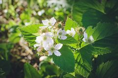Blackberry flowers. Closeup, soft focus royalty free stock photos