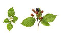 Blackberry flowers and fruit Royalty Free Stock Image