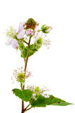 Blackberry flowers, and green blackberries Stock Photo