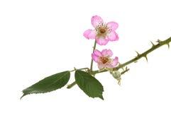 Blackberry flowers Royalty Free Stock Image