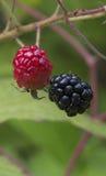 Blackberry-fruit Royalty-vrije Stock Foto's