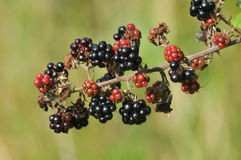 Blackberry fruit on bramble bush. Brambleberry or blackberry ripens as autumn draws near royalty free stock photography