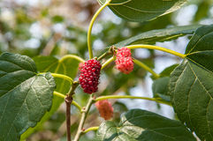 Blackberry fruit on branch with a green leaves background. Also known as Amora fruit. Red Blackberry still maturing Royalty Free Stock Photos