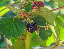 Blackberry fruit branch, Rosaceae family, close up Royalty Free Stock Images