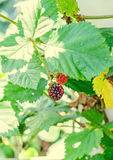 Blackberry fruit branch, Rosaceae family, close up Royalty Free Stock Photos