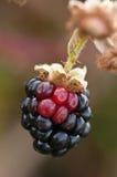 Blackberry fruit hangs on brambles. Fresh,juicy,ripe blackberry ripens in brambles in late summer sun royalty free stock photo
