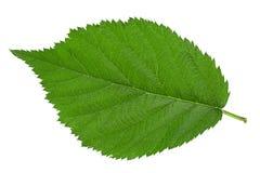 Blackberry fruit leaf closeup royalty free stock image