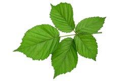 Blackberry fruit leaf closeup royalty free stock photos