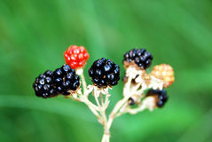 Blackberry fruit in nature. Black and red blackberry fruit in nature Royalty Free Stock Photo