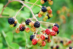 Blackberry fruit in nature. Black and red blackberry fruit in nature stock photography