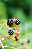 Blackberry fruit in nature. Black and red blackberry fruit in nature Royalty Free Stock Images
