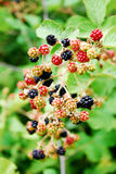 Blackberry fruit in nature. Black and red blackberry fruit in nature Royalty Free Stock Image