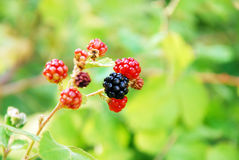 Blackberry fruit in nature. Black and red blackberry fruit in nature Royalty Free Stock Photos