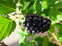 Blackberry-fruit - Purple royalty-vrije stock afbeeldingen