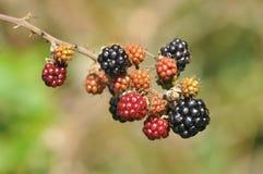 Blackberry fruit ripens as autumn approaches. Ripening blackberry fruit in English autumn countryside stock photo