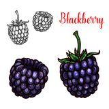 Blackberry fruit sketch of sweet bramble berry. Blackberry fruit sketch of sweet summer berry. Fresh fruit of wild or garden bramble with green stem and leaf vector illustration