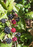 Blackberry fruit. Surrounded by leaves in vertical Stock Photo