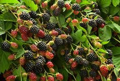 Blackberry-fruit in tuin royalty-vrije stock afbeelding