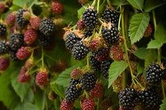 Blackberry-fruit in tuin Stock Fotografie