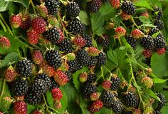 Blackberry-fruit in tuin stock foto