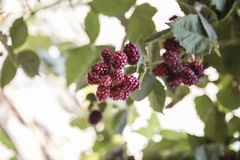 Blackberry fruits on the bush with selective focus Stock Image