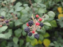 Blackberry fruits stock photo