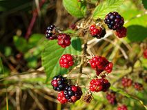 Blackberry fruits in sunlight at fall Royalty Free Stock Images