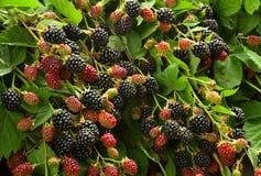 Blackberry frukt i trädgård royaltyfri bild