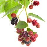 Blackberry fruktcloseup Royaltyfri Foto