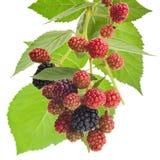 Blackberry fruktgrupp med bladet Fotografering för Bildbyråer