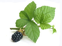 Blackberry (fruticosus do Rubus) Foto de Stock Royalty Free