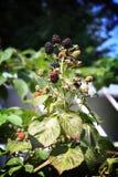 Blackberry in the garden Royalty Free Stock Photo