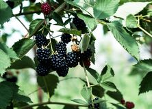 Blackberry in the green bushes.  royalty free stock photography
