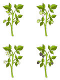 Blackberry growth phases Royalty Free Stock Photo