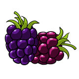 Blackberry hand drawn fruits isolated  Stock Photography