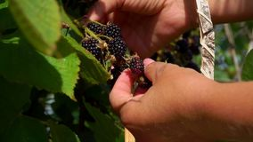 Blackberry harvest in the garden on a sunny day. Blackberry harvest in the garden on a summer sunny day. Bush branches is juicy ripe blackberry stock video footage