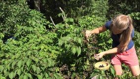 Blackberry-het plukken door de mooie vrouwelijke vrouw van de landbouwersarbeider in landbouwbedrijfaanplanting dichtbij bos4k stock video