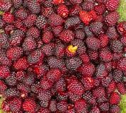 Blackberry i platta Fotografering för Bildbyråer