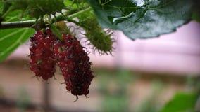 Blackberry inmaduro en macro del primer de la planta tirado mostrando troncos imagen de archivo libre de regalías