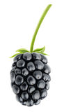 Blackberry. Isolated on white background stock image