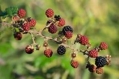 Blackberry lös växt Royaltyfria Bilder