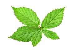 Blackberry leaf Stock Photo