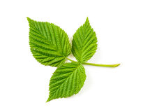 Blackberry Leaf Royalty Free Stock Photo